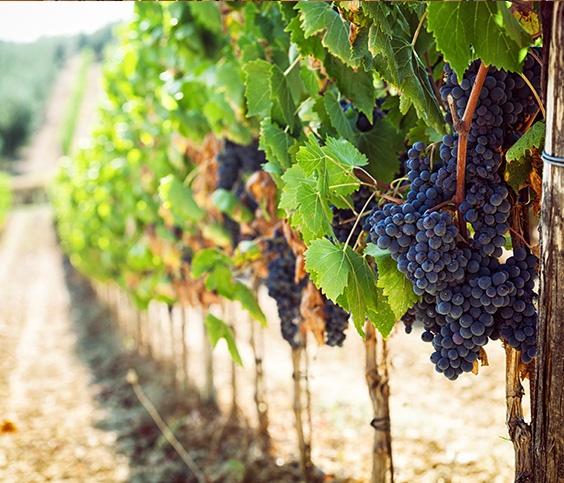 Wine Grape Vines in Vineyard